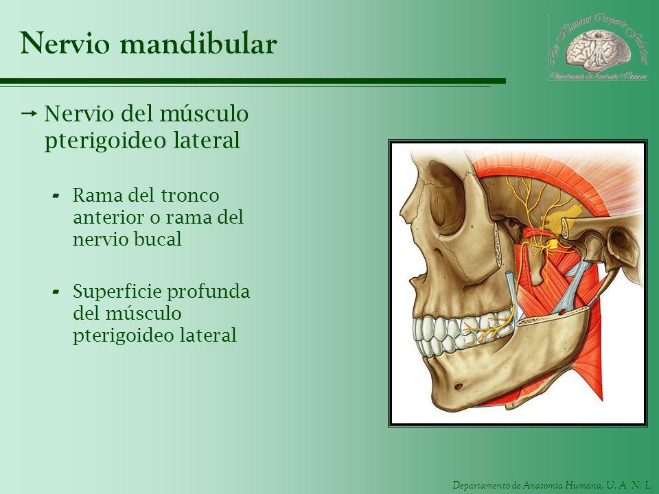 Departamento de Anatomía Humana, U. A. N. L. Nervio mandibular Nervio del músculo pterigoideo lateral - Rama del tronco anterior o rama del nervio buc
