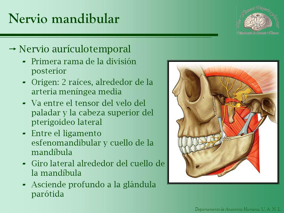 Departamento de Anatomía Humana, U. A. N. L. Nervio mandibular Nervio aurículotemporal - Primera rama de la división posterior - Origen: 2 raíces, alr