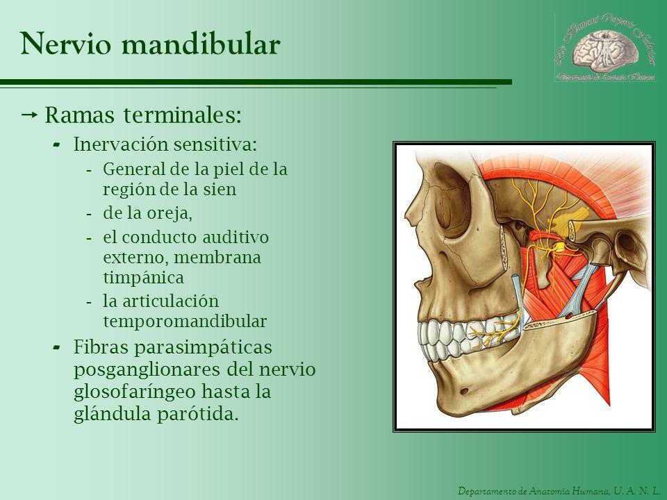 Departamento de Anatomía Humana, U. A. N. L. Nervio mandibular Ramas terminales: - Inervación sensitiva: -General de la piel de la región de la sien -