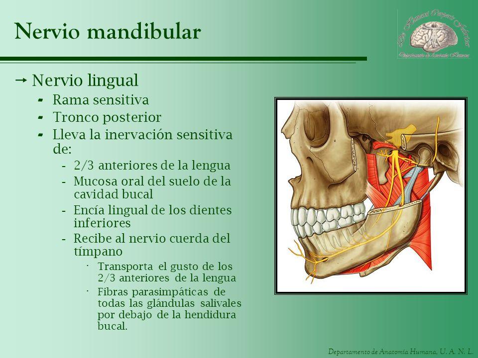 Departamento de Anatomía Humana, U. A. N. L. Nervio mandibular Nervio lingual - Rama sensitiva - Tronco posterior - Lleva la inervación sensitiva de: