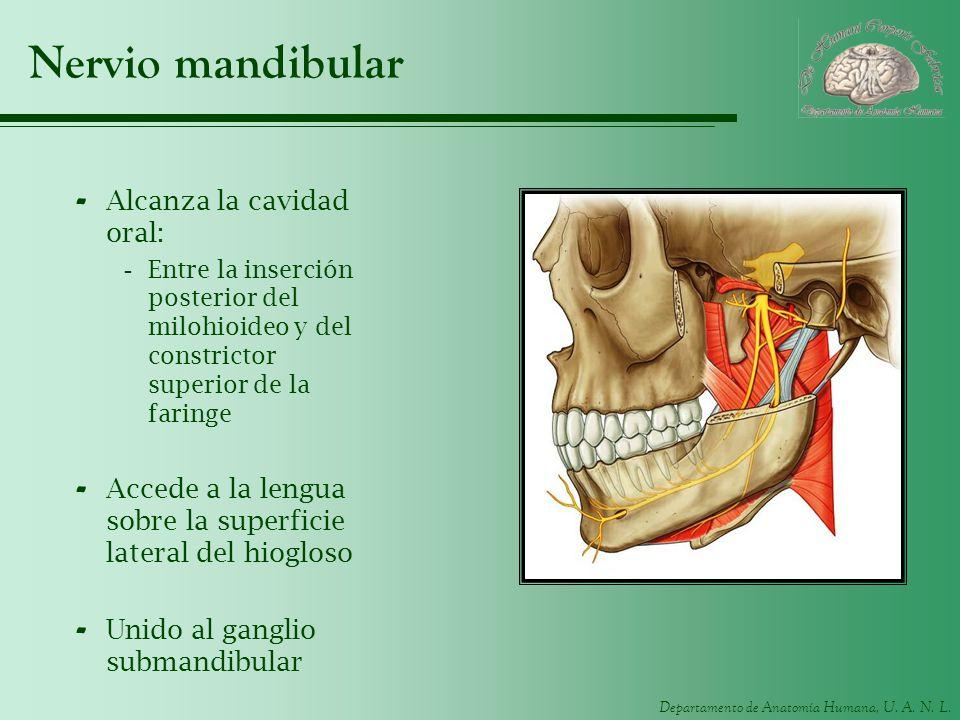 Departamento de Anatomía Humana, U. A. N. L. Nervio mandibular - Alcanza la cavidad oral: -Entre la inserción posterior del milohioideo y del constric