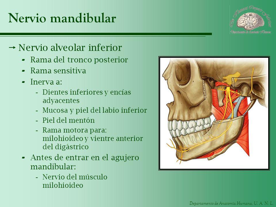Departamento de Anatomía Humana, U. A. N. L. Nervio mandibular Nervio alveolar inferior - Rama del tronco posterior - Rama sensitiva - Inerva a: -Dien