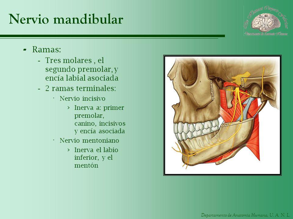 Departamento de Anatomía Humana, U. A. N. L. Nervio mandibular - Ramas: -Tres molares, el segundo premolar, y encía labial asociada -2 ramas terminale