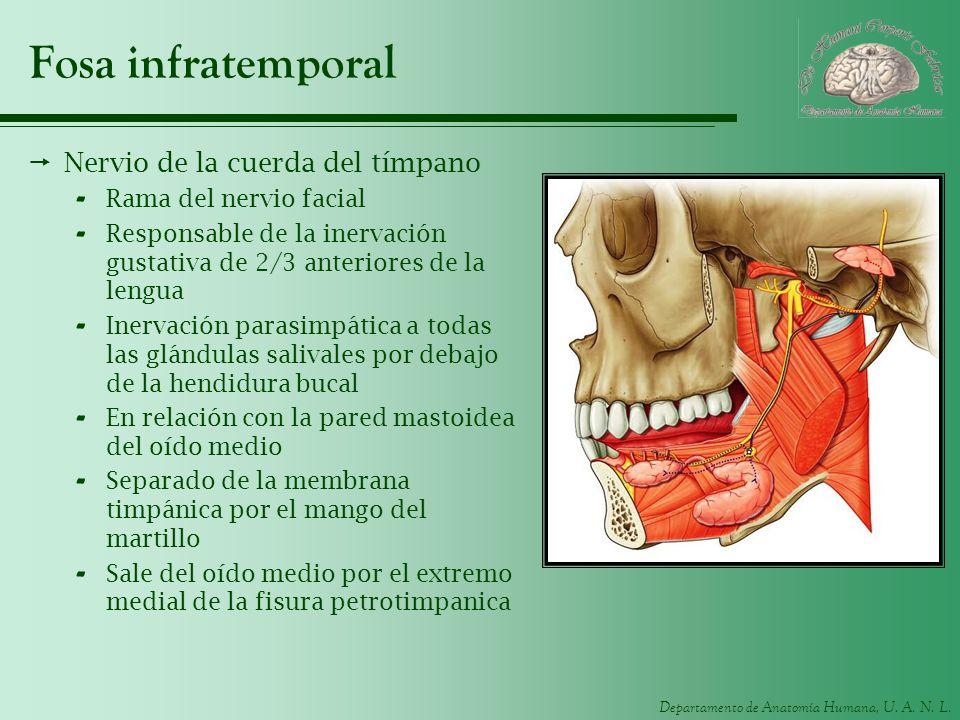 Departamento de Anatomía Humana, U. A. N. L. Fosa infratemporal Nervio de la cuerda del tímpano - Rama del nervio facial - Responsable de la inervació