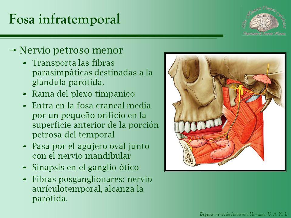 Departamento de Anatomía Humana, U. A. N. L. Fosa infratemporal Nervio petroso menor - Transporta las fibras parasimpáticas destinadas a la glándula p
