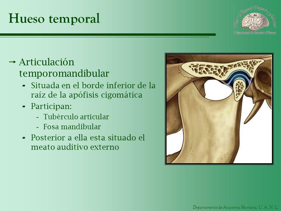 Departamento de Anatomía Humana, U. A. N. L. Hueso temporal Articulación temporomandibular - Situada en el borde inferior de la raíz de la apófisis ci