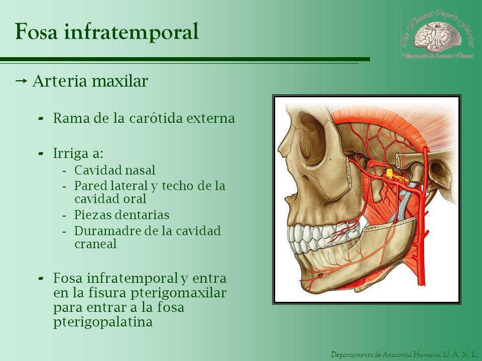 Departamento de Anatomía Humana, U. A. N. L. Fosa infratemporal Arteria maxilar - Rama de la carótida externa - Irriga a: -Cavidad nasal -Pared latera