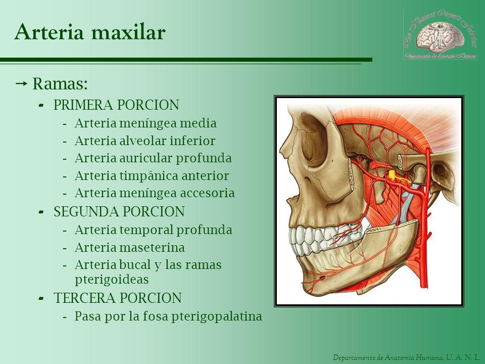 Departamento de Anatomía Humana, U. A. N. L. Arteria maxilar Ramas: - PRIMERA PORCION -Arteria meníngea media -Arteria alveolar inferior -Arteria auri
