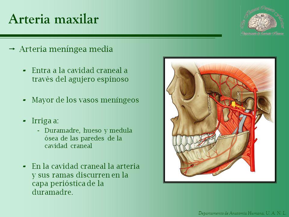 Departamento de Anatomía Humana, U. A. N. L. Arteria maxilar Arteria meníngea media - Entra a la cavidad craneal a través del agujero espinoso - Mayor