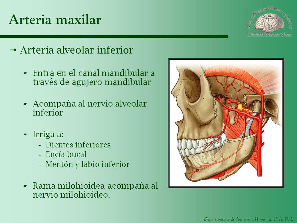 Departamento de Anatomía Humana, U. A. N. L. Arteria maxilar Arteria alveolar inferior - Entra en el canal mandibular a través de agujero mandibular -