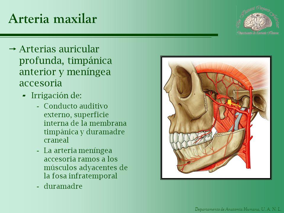 Departamento de Anatomía Humana, U. A. N. L. Arteria maxilar Arterias auricular profunda, timpánica anterior y meníngea accesoria - Irrigación de: -Co