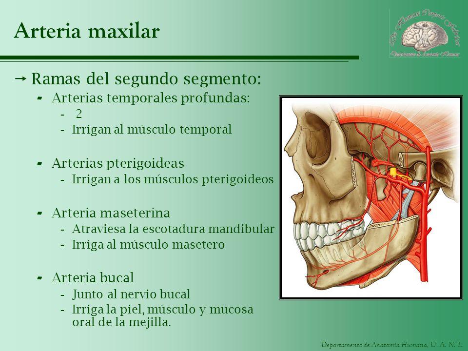 Departamento de Anatomía Humana, U. A. N. L. Arteria maxilar Ramas del segundo segmento: - Arterias temporales profundas: - 2 -Irrigan al músculo temp