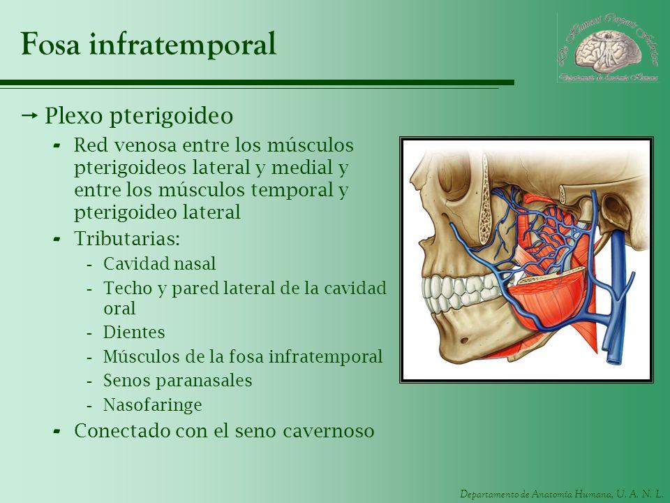 Departamento de Anatomía Humana, U. A. N. L. Fosa infratemporal Plexo pterigoideo - Red venosa entre los músculos pterigoideos lateral y medial y entr