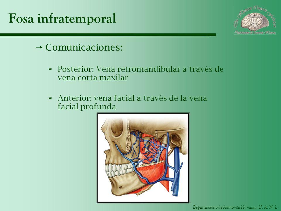 Departamento de Anatomía Humana, U. A. N. L. Fosa infratemporal Comunicaciones: - Posterior: Vena retromandibular a través de vena corta maxilar - Ant