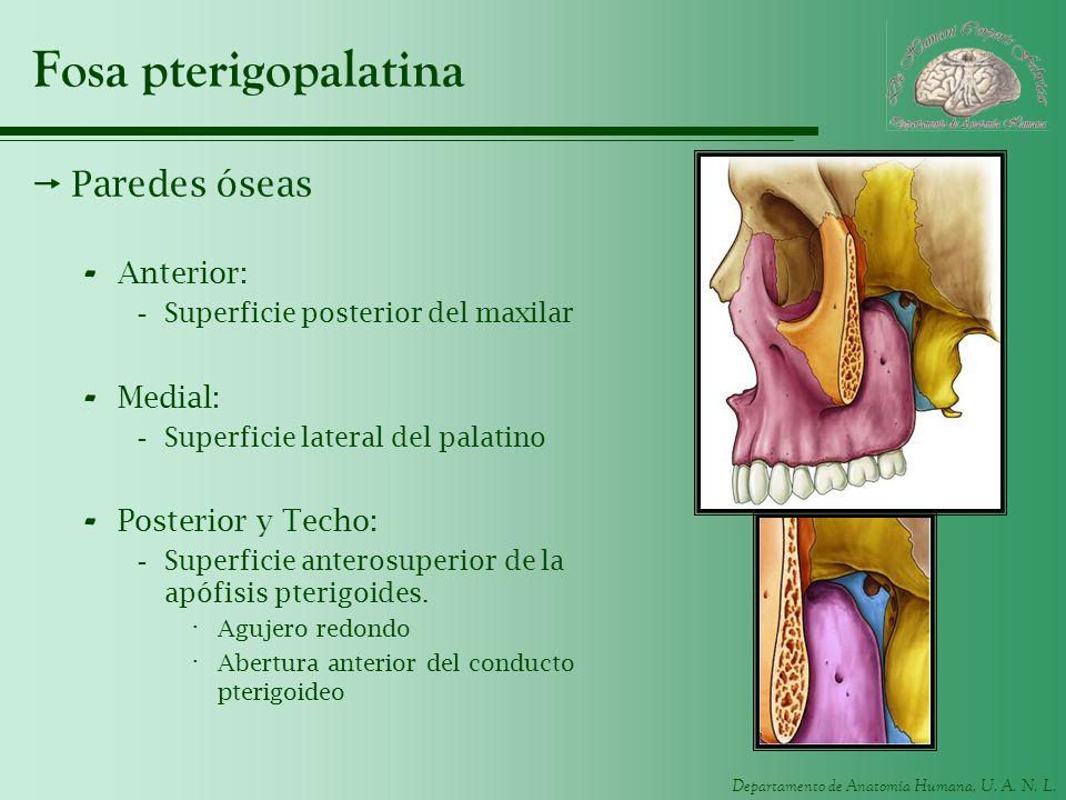 Departamento de Anatomía Humana, U. A. N. L. Fosa pterigopalatina Paredes óseas - Anterior: -Superficie posterior del maxilar - Medial: -Superficie la