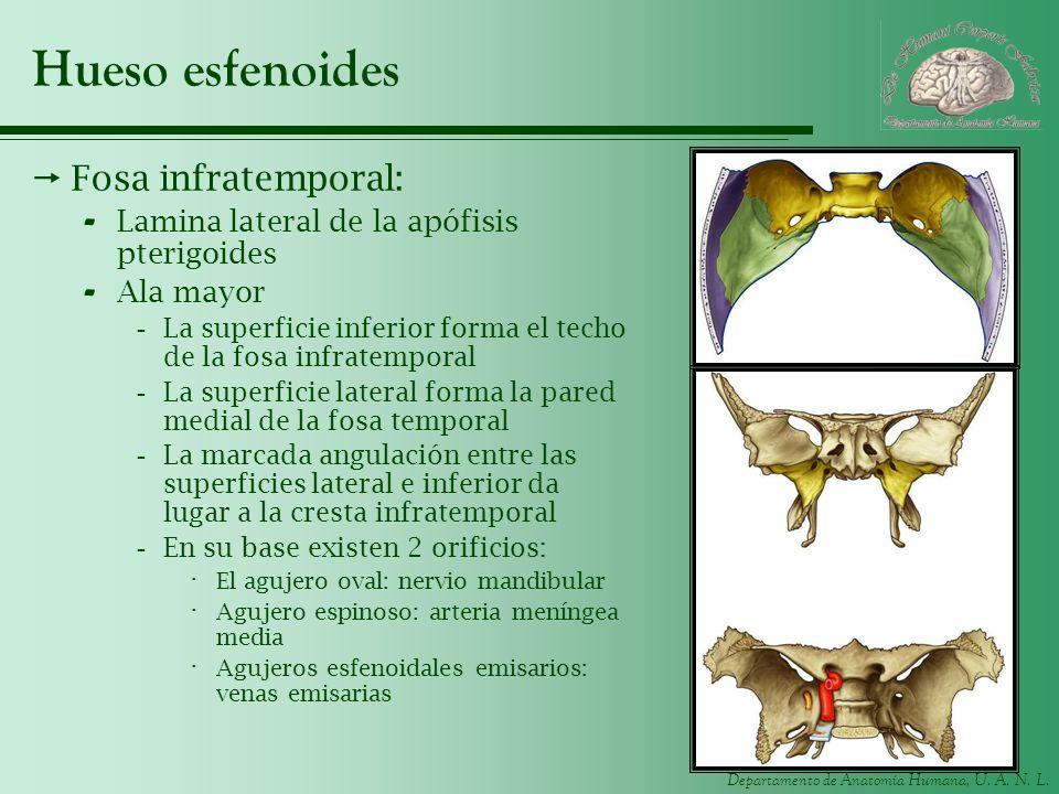Departamento de Anatomía Humana, U. A. N. L. Hueso esfenoides Fosa infratemporal: - Lamina lateral de la apófisis pterigoides - Ala mayor -La superfic