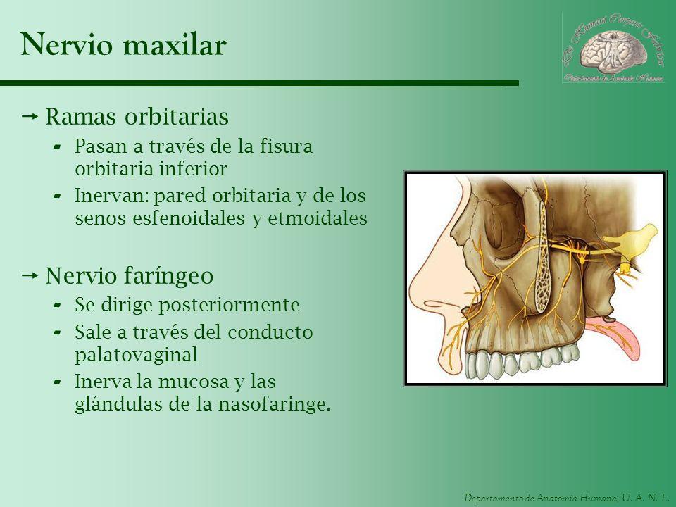 Departamento de Anatomía Humana, U. A. N. L. Nervio maxilar Ramas orbitarias - Pasan a través de la fisura orbitaria inferior - Inervan: pared orbitar