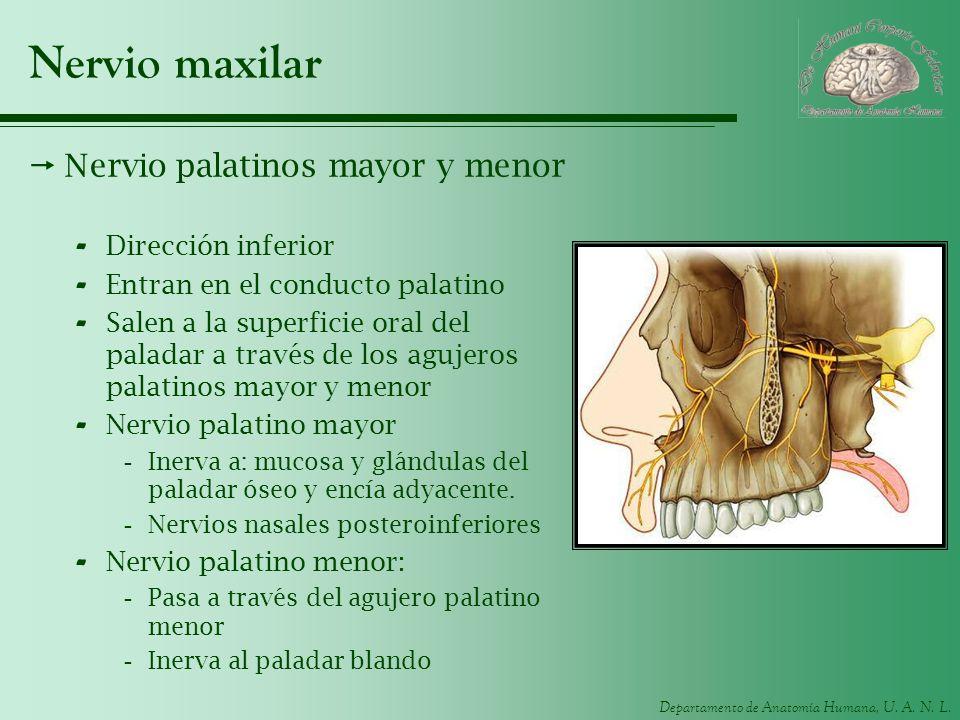 Departamento de Anatomía Humana, U. A. N. L. Nervio maxilar Nervio palatinos mayor y menor - Dirección inferior - Entran en el conducto palatino - Sal