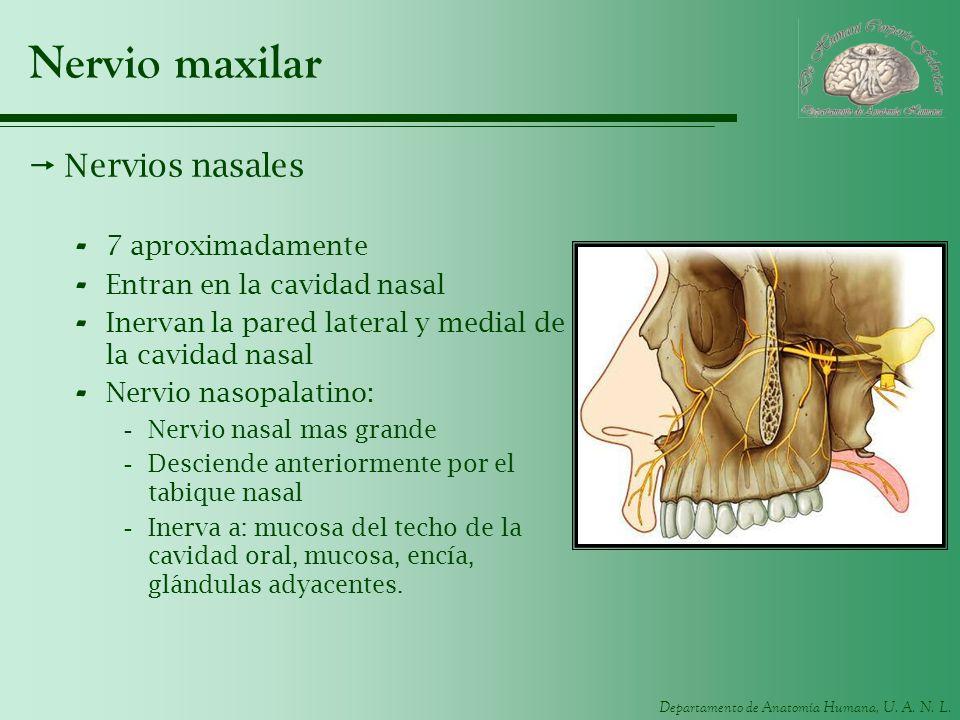 Departamento de Anatomía Humana, U. A. N. L. Nervio maxilar Nervios nasales - 7 aproximadamente - Entran en la cavidad nasal - Inervan la pared latera