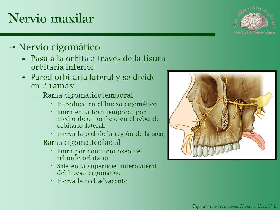 Departamento de Anatomía Humana, U. A. N. L. Nervio maxilar Nervio cigomático - Pasa a la orbita a través de la fisura orbitaria inferior - Pared orbi