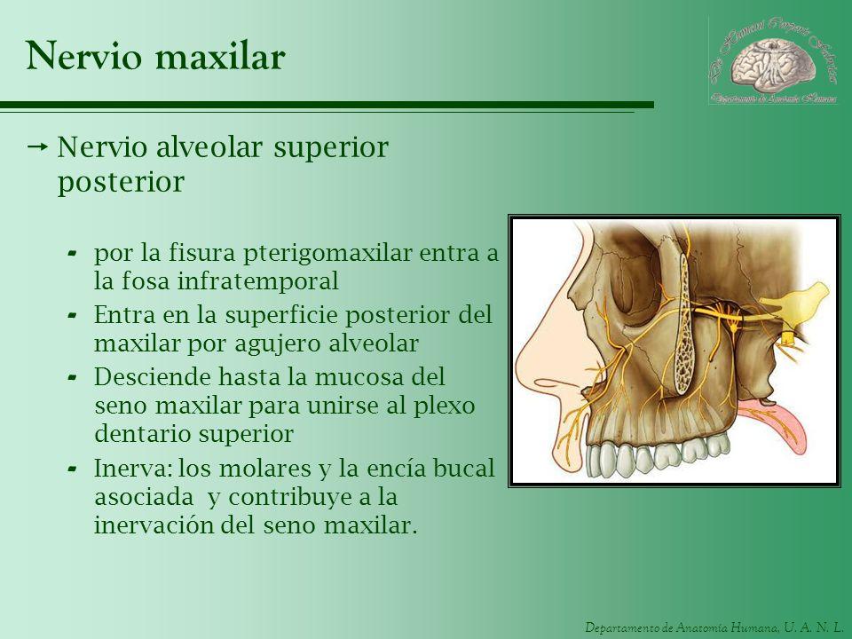 Departamento de Anatomía Humana, U. A. N. L. Nervio maxilar Nervio alveolar superior posterior - por la fisura pterigomaxilar entra a la fosa infratem