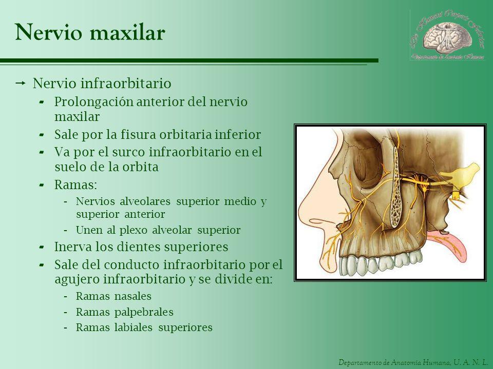 Departamento de Anatomía Humana, U. A. N. L. Nervio maxilar Nervio infraorbitario - Prolongación anterior del nervio maxilar - Sale por la fisura orbi
