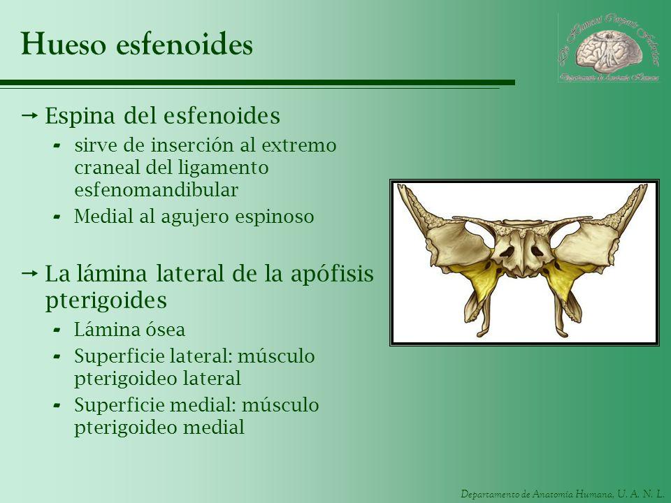 Departamento de Anatomía Humana, U. A. N. L. Hueso esfenoides Espina del esfenoides - sirve de inserción al extremo craneal del ligamento esfenomandib