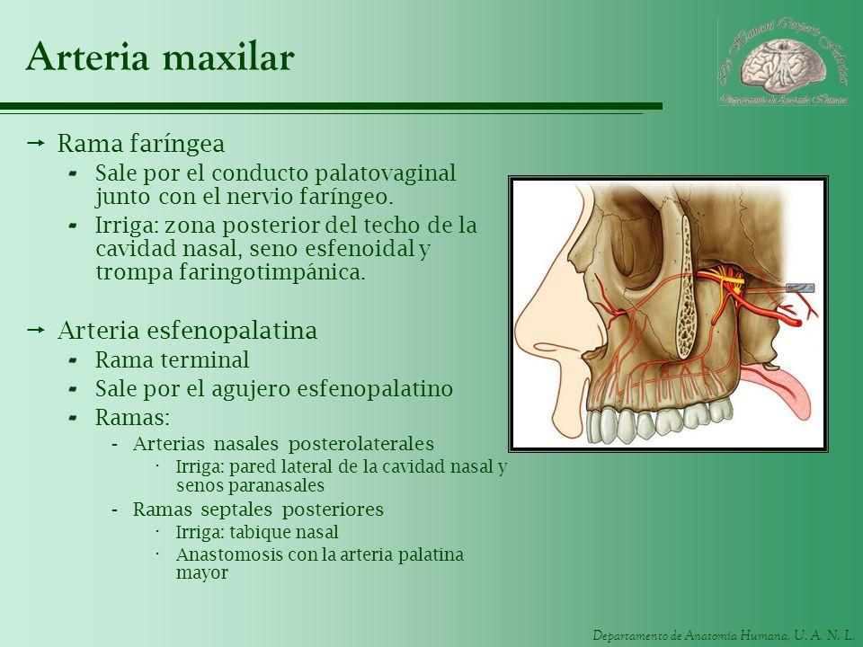 Departamento de Anatomía Humana, U. A. N. L. Arteria maxilar Rama faríngea - Sale por el conducto palatovaginal junto con el nervio faríngeo. - Irriga