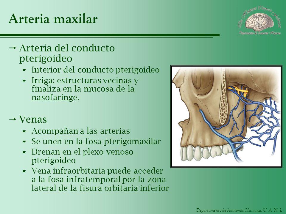 Departamento de Anatomía Humana, U. A. N. L. Arteria maxilar Arteria del conducto pterigoideo - Interior del conducto pterigoideo - Irriga: estructura