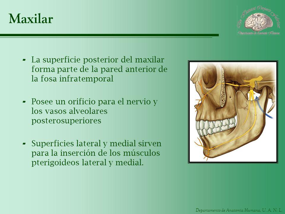 Departamento de Anatomía Humana, U. A. N. L. Maxilar - La superficie posterior del maxilar forma parte de la pared anterior de la fosa infratemporal -