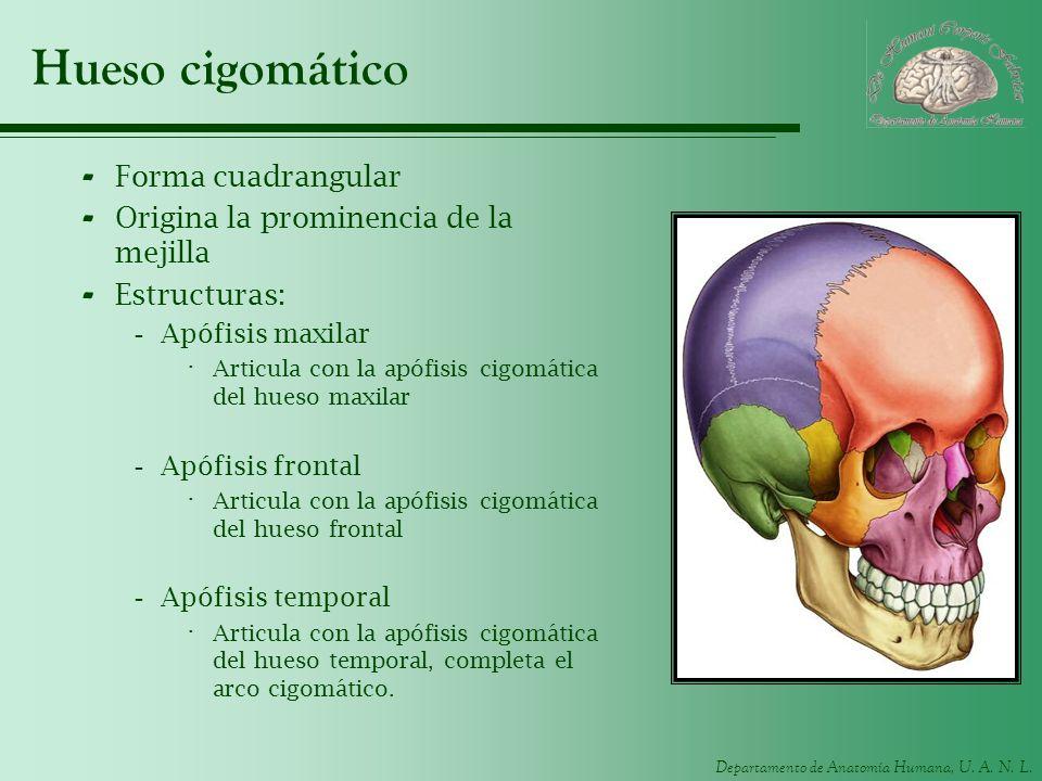 Departamento de Anatomía Humana, U. A. N. L. Hueso cigomático - Forma cuadrangular - Origina la prominencia de la mejilla - Estructuras: -Apófisis max