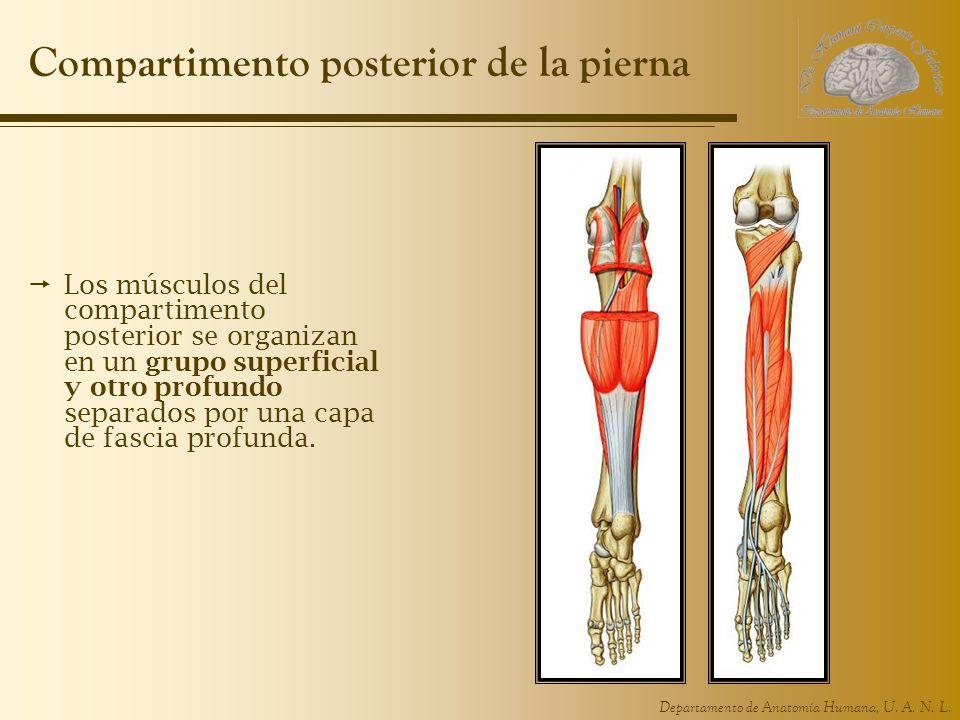 Departamento de Anatomía Humana, U. A. N. L. Compartimento posterior de la pierna Los músculos del compartimento posterior se organizan en un grupo su