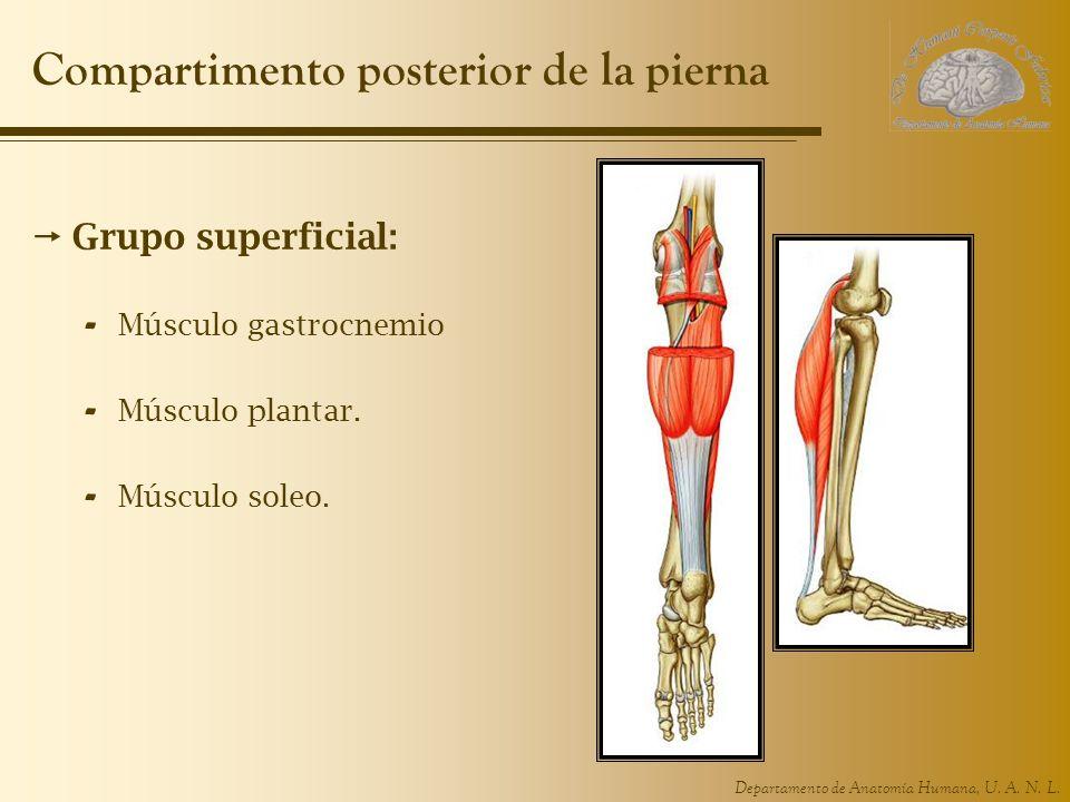 Departamento de Anatomía Humana, U. A. N. L. Compartimento posterior de la pierna Grupo superficial: - Músculo gastrocnemio - Músculo plantar. - Múscu