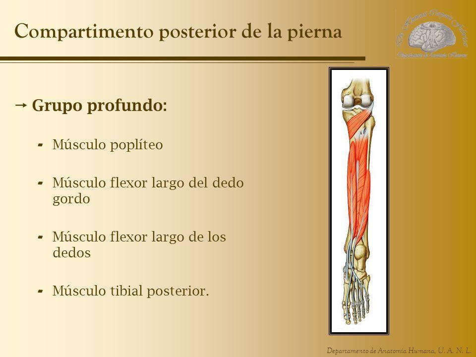 Departamento de Anatomía Humana, U. A. N. L. Compartimento posterior de la pierna Grupo profundo: - Músculo poplíteo - Músculo flexor largo del dedo g