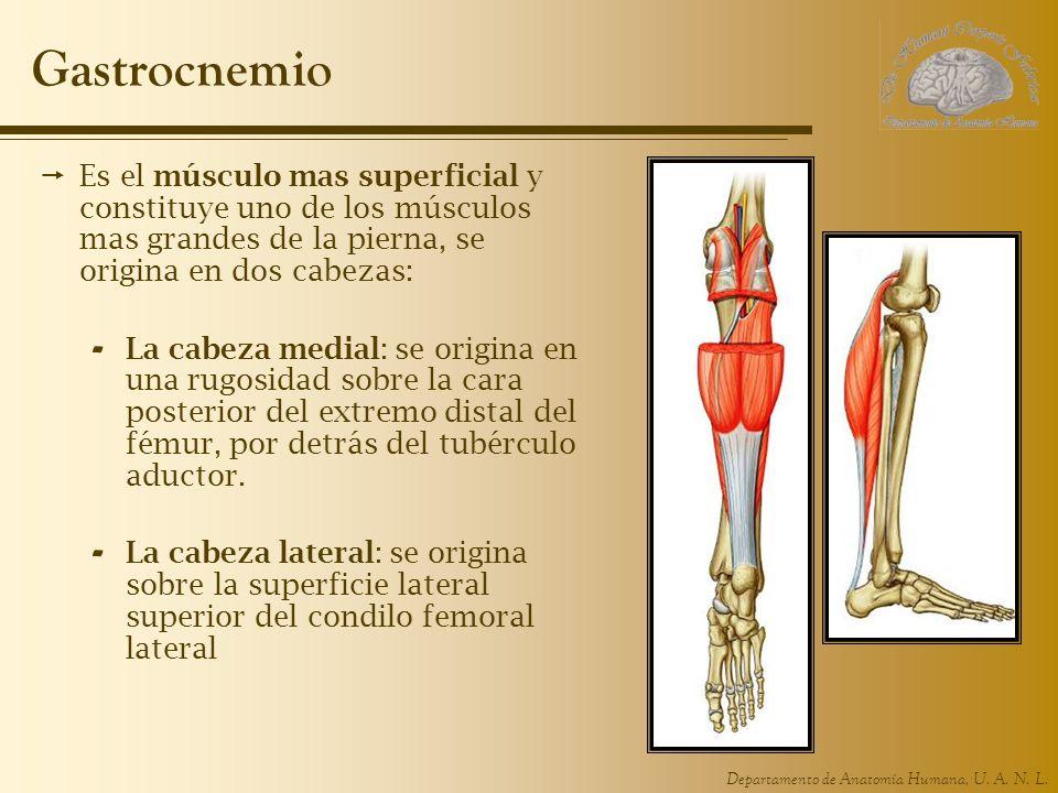 Departamento de Anatomía Humana, U. A. N. L. Gastrocnemio Es el músculo mas superficial y constituye uno de los músculos mas grandes de la pierna, se