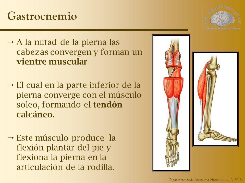 Departamento de Anatomía Humana, U. A. N. L. Gastrocnemio A la mitad de la pierna las cabezas convergen y forman un vientre muscular El cual en la par