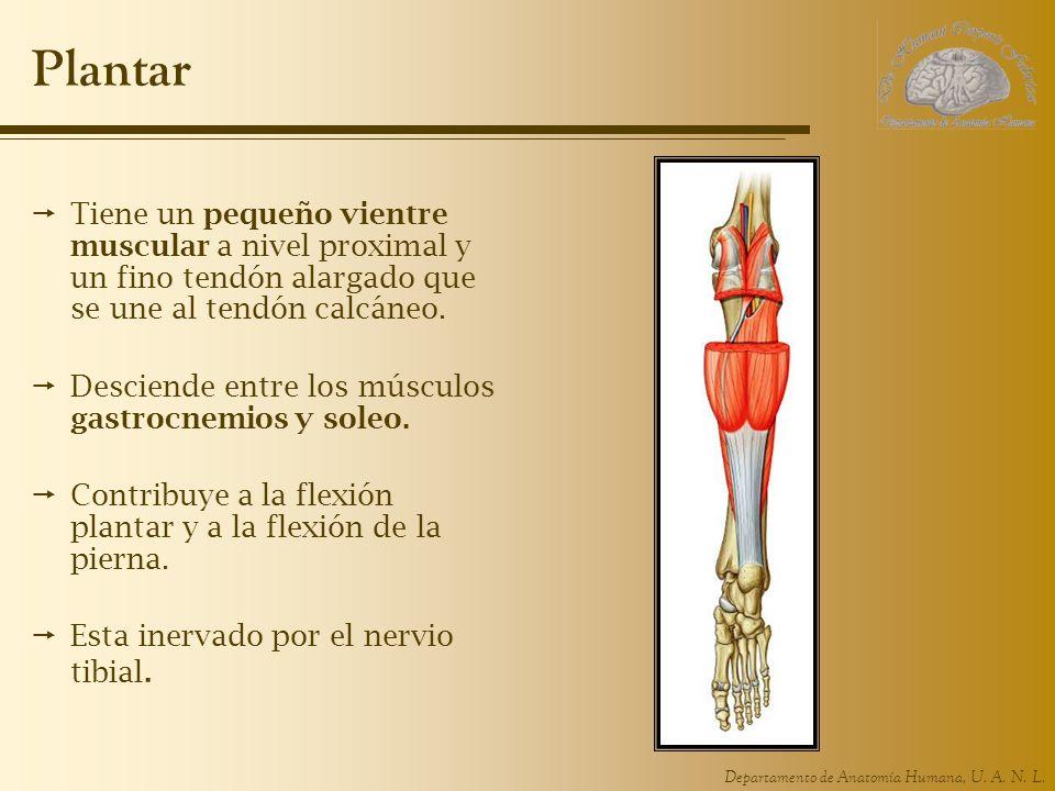 Departamento de Anatomía Humana, U. A. N. L. Plantar Tiene un pequeño vientre muscular a nivel proximal y un fino tendón alargado que se une al tendón