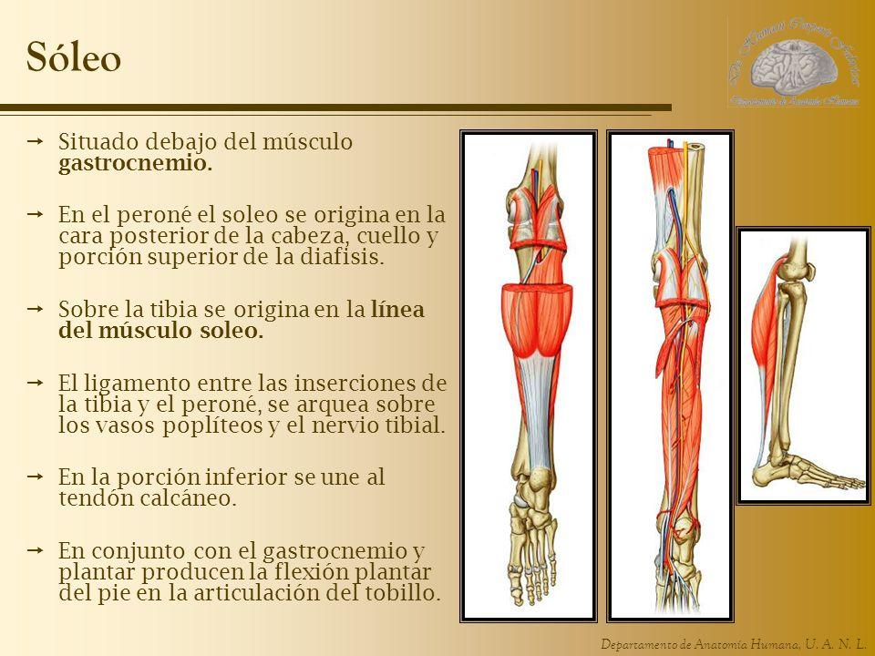 Departamento de Anatomía Humana, U. A. N. L. Sóleo Situado debajo del músculo gastrocnemio. En el peroné el soleo se origina en la cara posterior de l