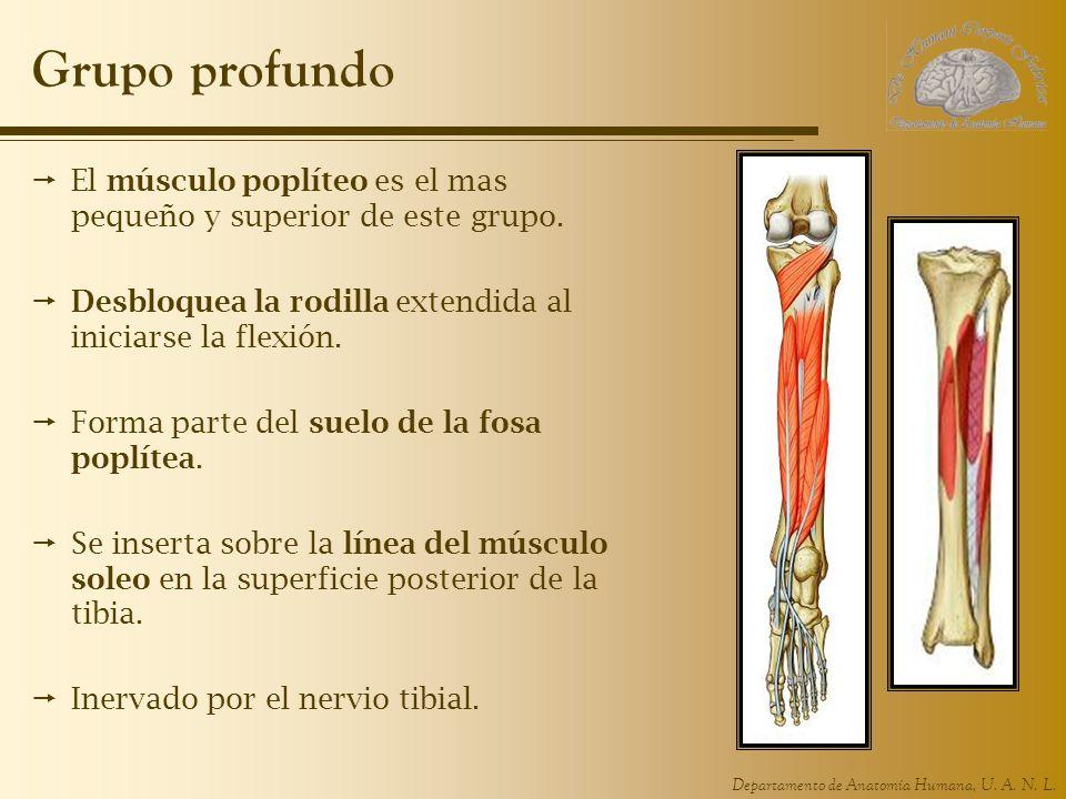Departamento de Anatomía Humana, U. A. N. L. Grupo profundo El músculo poplíteo es el mas pequeño y superior de este grupo. Desbloquea la rodilla exte