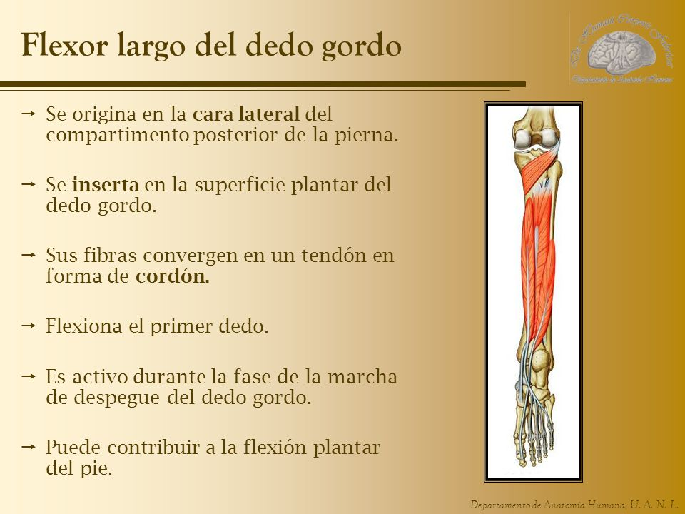 Departamento de Anatomía Humana, U. A. N. L. Flexor largo del dedo gordo Se origina en la cara lateral del compartimento posterior de la pierna. Se in