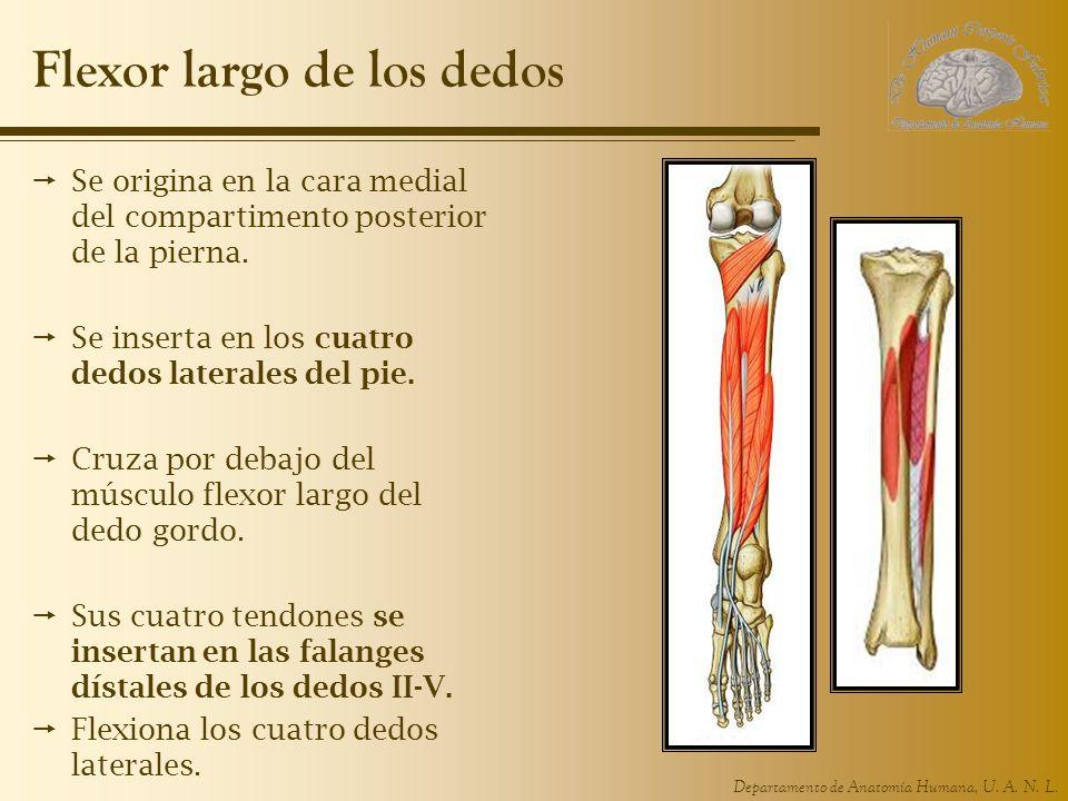Departamento de Anatomía Humana, U. A. N. L. Flexor largo de los dedos Se origina en la cara medial del compartimento posterior de la pierna. Se inser