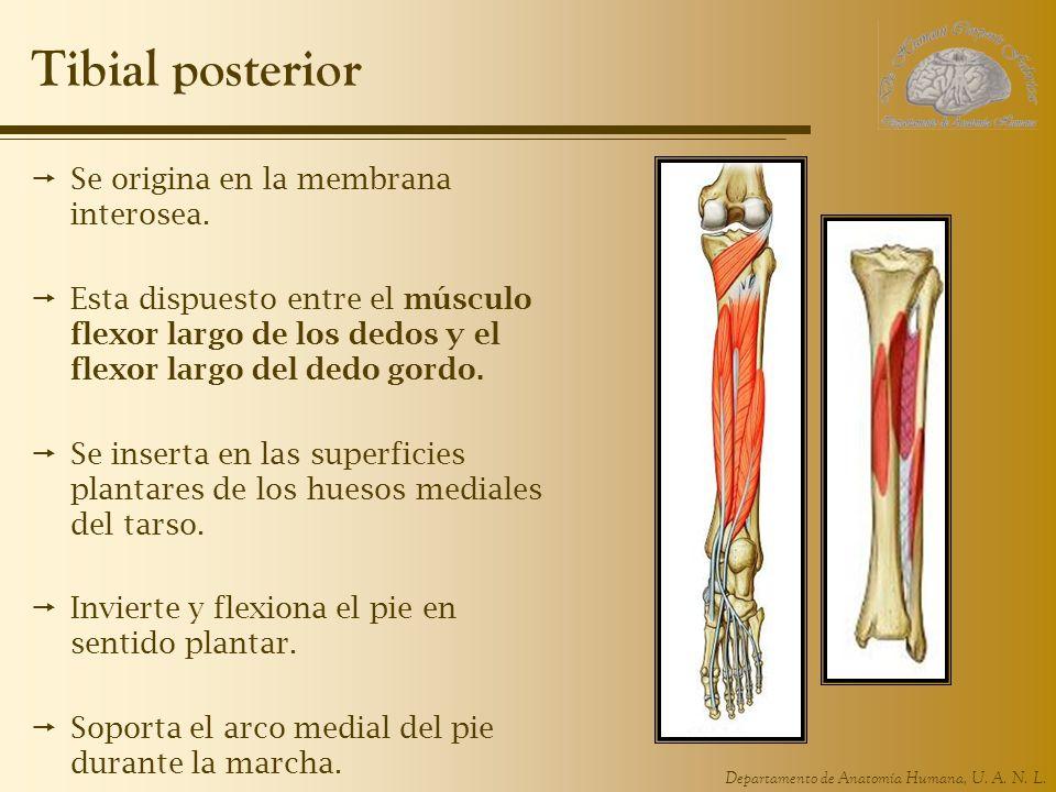 Departamento de Anatomía Humana, U. A. N. L. Tibial posterior Se origina en la membrana interosea. Esta dispuesto entre el músculo flexor largo de los