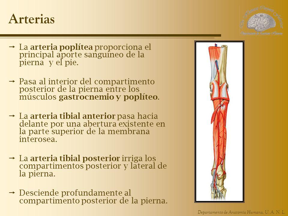 Departamento de Anatomía Humana, U. A. N. L. Arterias La arteria poplítea proporciona el principal aporte sanguíneo de la pierna y el pie. Pasa al int