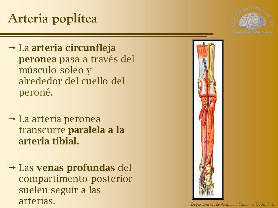 Departamento de Anatomía Humana, U. A. N. L. Arteria poplítea La arteria circunfleja peronea pasa a través del músculo soleo y alrededor del cuello de
