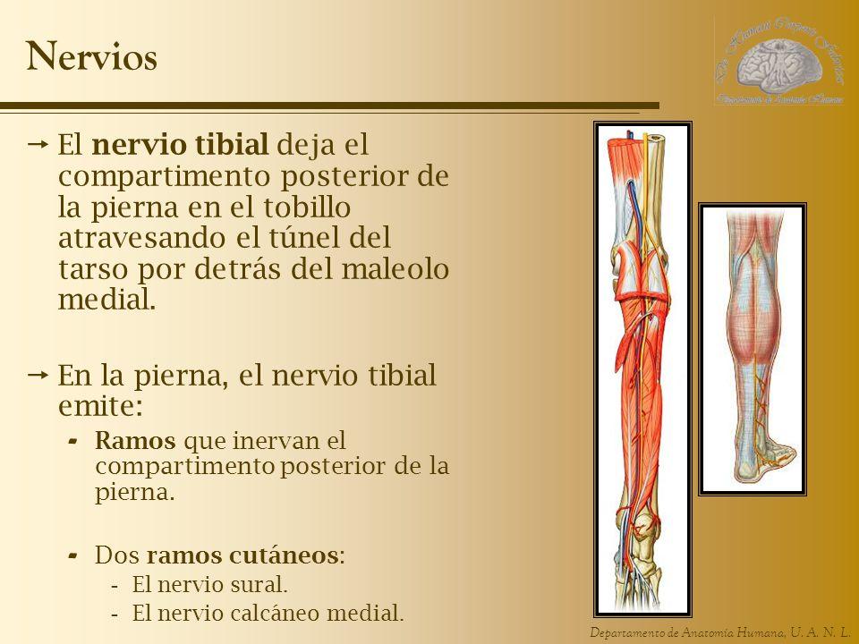 Departamento de Anatomía Humana, U. A. N. L. Nervios El nervio tibial deja el compartimento posterior de la pierna en el tobillo atravesando el túnel