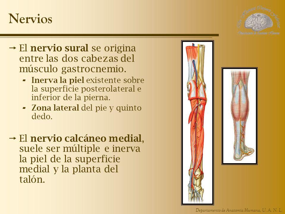 Departamento de Anatomía Humana, U. A. N. L. Nervios El nervio sural se origina entre las dos cabezas del músculo gastrocnemio. - Inerva la piel exist