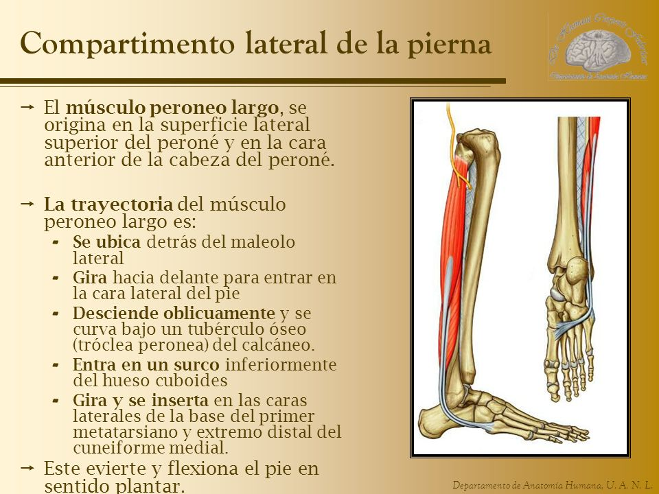 Departamento de Anatomía Humana, U. A. N. L. Compartimento lateral de la pierna El músculo peroneo largo, se origina en la superficie lateral superior