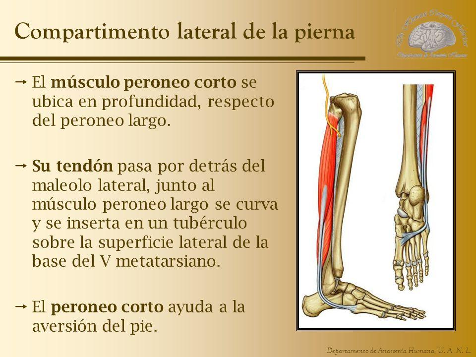 Departamento de Anatomía Humana, U. A. N. L. Compartimento lateral de la pierna El músculo peroneo corto se ubica en profundidad, respecto del peroneo
