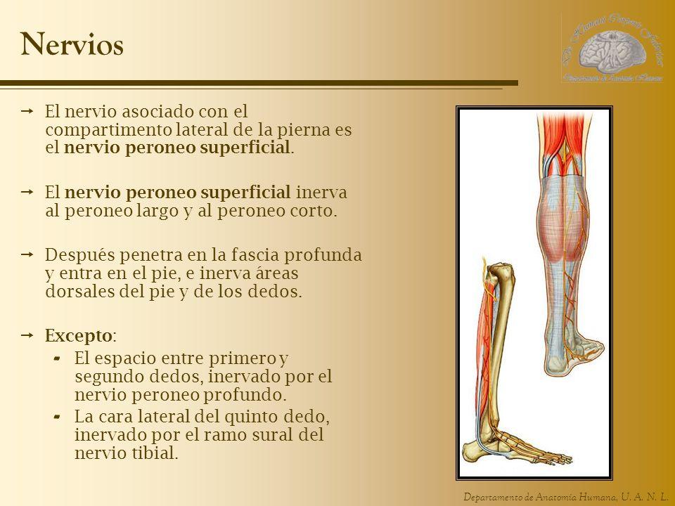 Departamento de Anatomía Humana, U. A. N. L. Nervios El nervio asociado con el compartimento lateral de la pierna es el nervio peroneo superficial. El