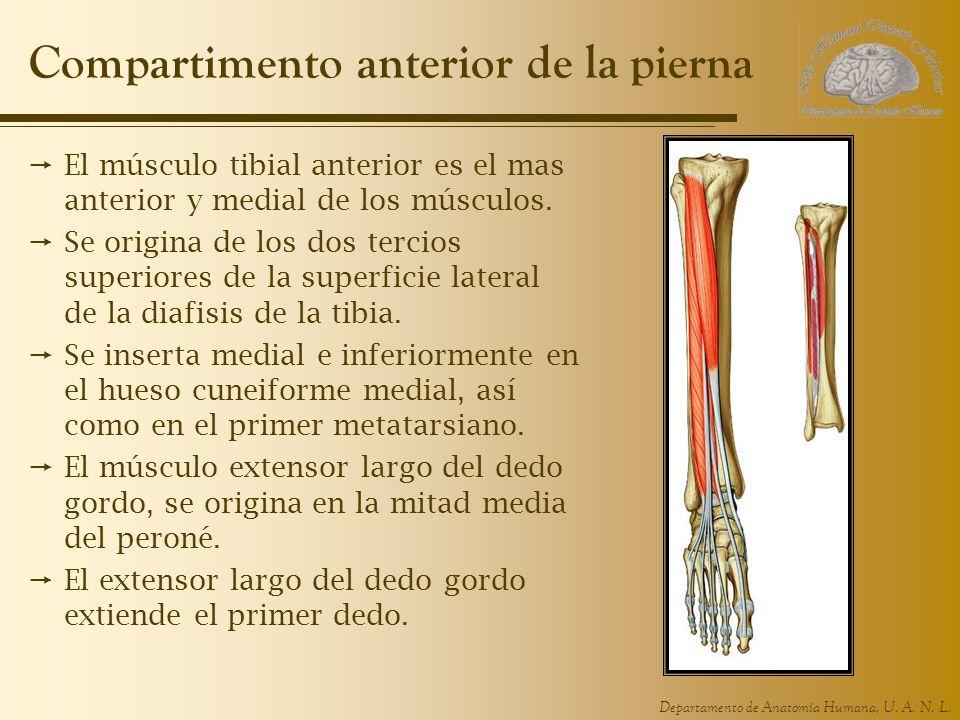 Departamento de Anatomía Humana, U. A. N. L. Compartimento anterior de la pierna El músculo tibial anterior es el mas anterior y medial de los músculo